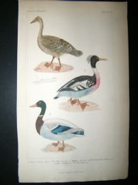 Cuvier C1835 Antique Hand Col Bird Print. Wild Goose, Red Breasted Merganser, Wild Mallard, 8